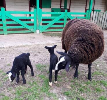 Lammetjes geboren